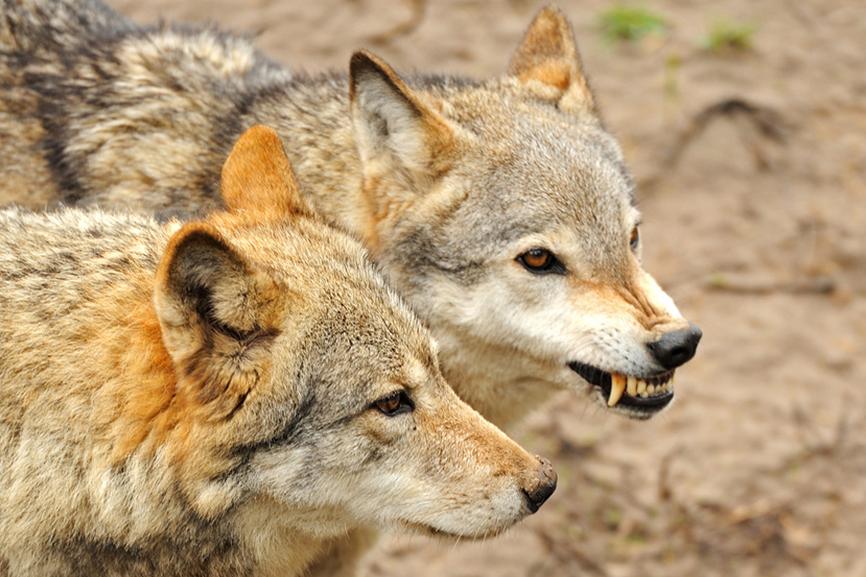 Адвокаты — «Волки» или «Служебные собаки»?